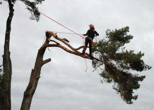 taiere arbori